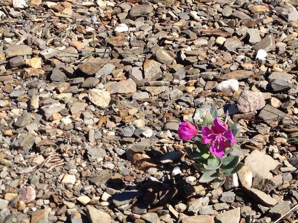 Mt Edith Cavell Alpine Flower